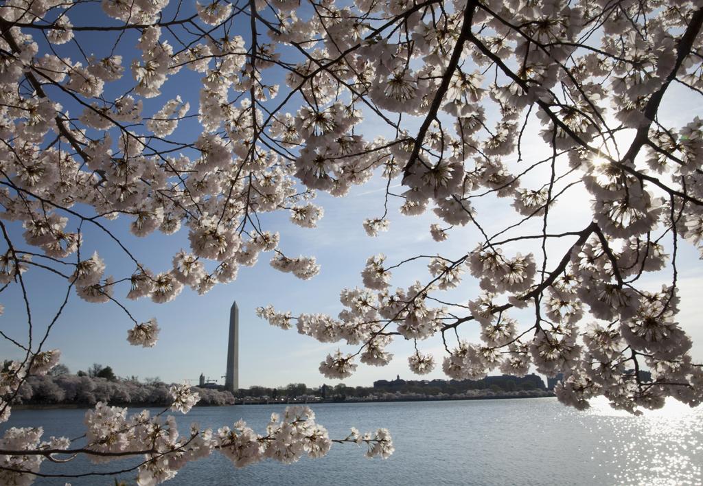 Adelantan Festival Nacional Cherry  Blossom