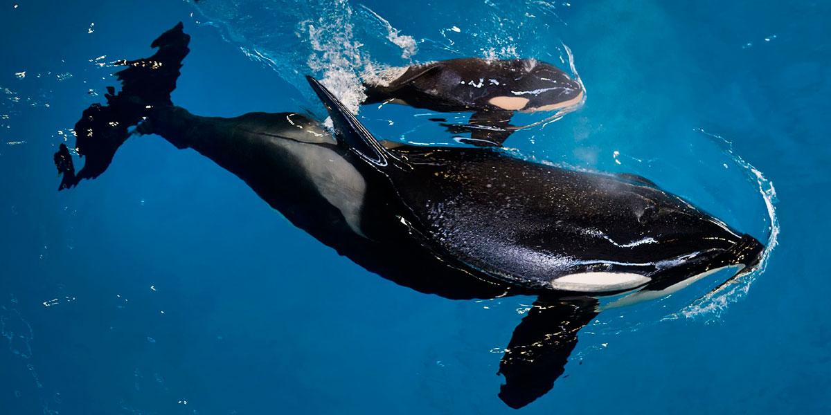Nace una última orca en el parque de SeaWorld