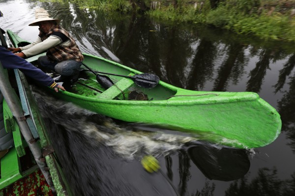 In this July 13, 2017 photo, a farmer takes advantage of a motorized boat to move faster along the channels of Xochimilco to his floating farm known as a