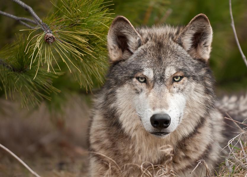 Parecerse a lobos es la clave para el futuro de los coyotes