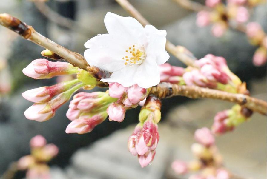 Retrasan florecimiento de los Cherry Blossom