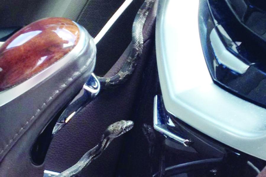 Inesperado viajero en  su coche: una serpiente