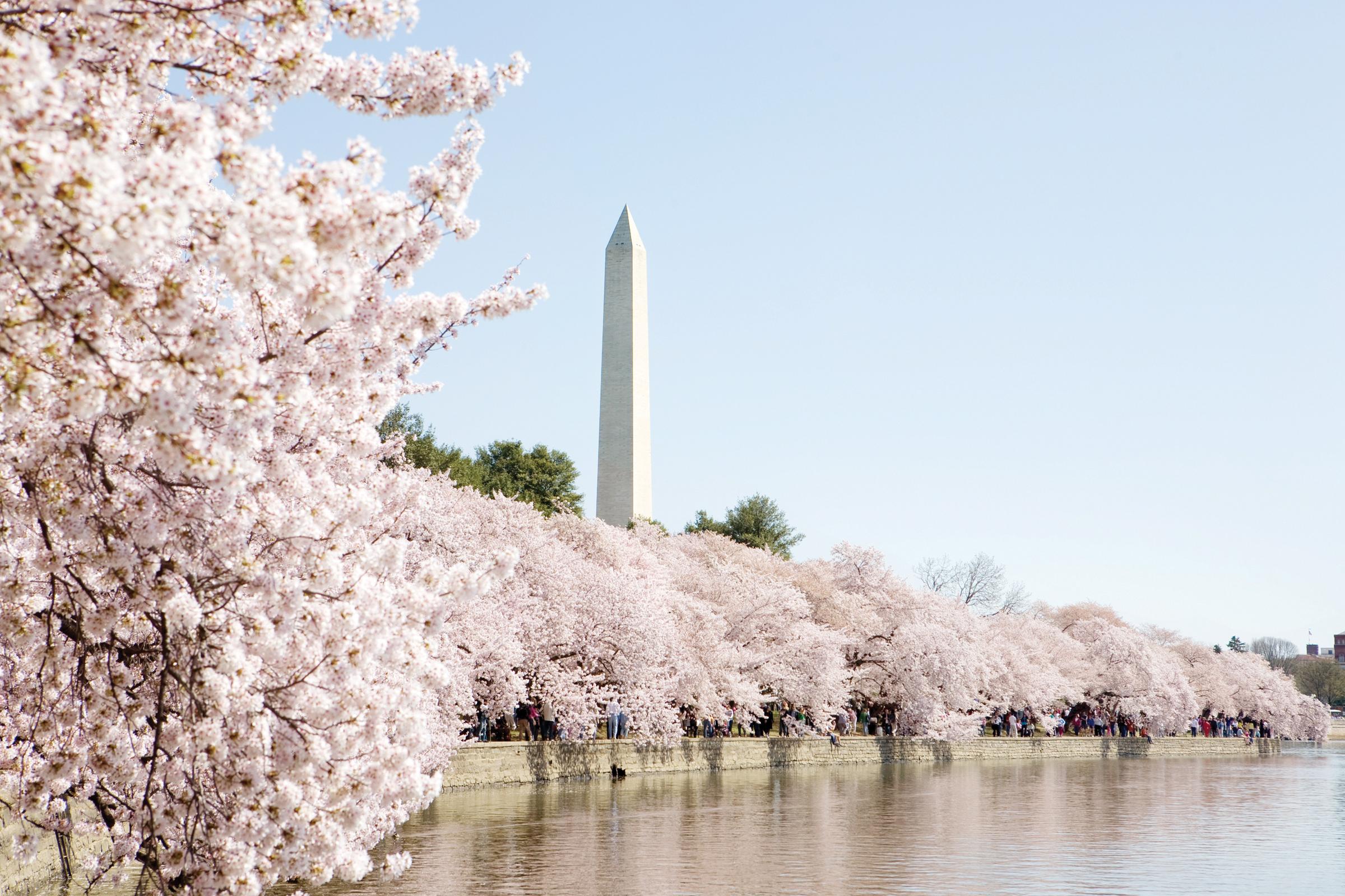 A esperar los Cherry Blossoms en abril