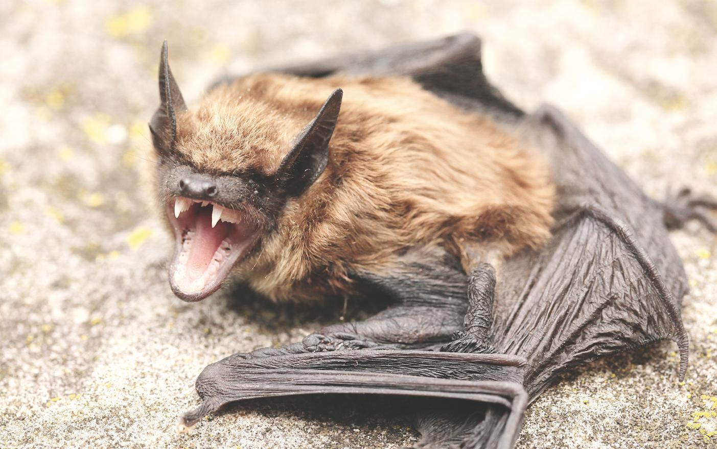 Preocupa murciélago con rabia en Manassas